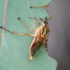 Pseudoperga sp. (genus) (Sawfly, Spitfire) at Namadgi National Park - 25 Jan 2021 by SWishart