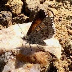 Lucia limbaria (Chequered Copper) at Holt, ACT - 20 Feb 2021 by KMcCue