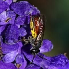 Lasioglossum (Parasphecodes) sp. (genus & subgenus) (Halictid bee) at Page, ACT - 20 Feb 2021 by dimageau
