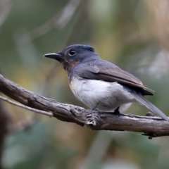 Myiagra rubecula (Leaden Flycatcher) at ANBG - 18 Feb 2021 by jbromilow50