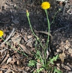 Hypochaeris radicata (Catsear) at Gossan Hill - 20 Feb 2021 by goyenjudy