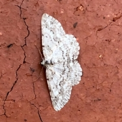 Psilosticha absorpta (Fine-waved Bark Moth) at Aranda, ACT - 21 Feb 2021 by KMcCue