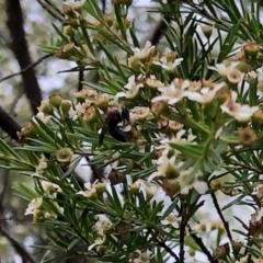 Lasioglossum (Callalictus) callomelittinum (Halictid bee) at Aranda, ACT - 21 Feb 2021 by KMcCue