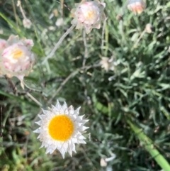 Leucochrysum albicans subsp. tricolor (Hoary Sunray) at Gossan Hill - 20 Feb 2021 by goyenjudy