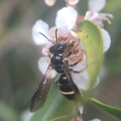 Lasioglossum (Australictus) tertium (Halictid bee) at ANBG - 20 Feb 2021 by PeterA