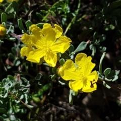 Hibbertia obtusifolia (Grey Guinea-flower) at Sherwood Forest - 21 Feb 2021 by tpreston