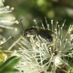 Euryglossa ephippiata (Saddleback Euryglossine Bee) at ANBG - 14 Nov 2020 by PeterA