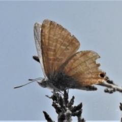 Unidentified Blue & Copper (Lycaenidae) (TBC) at Booth, ACT - 21 Feb 2021 by JohnBundock