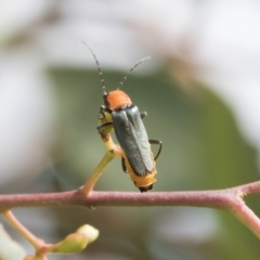 Chauliognathus tricolor (Tricolor soldier beetle) at Fyshwick, ACT - 10 Feb 2021 by AlisonMilton