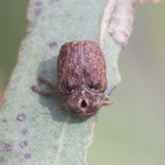 Cadmus sp. (genus) (Unidentified Cadmus leaf beetle) at Fyshwick, ACT - 10 Feb 2021 by AlisonMilton