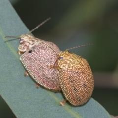Paropsis atomaria (Eucalyptus leaf beetle) at Fyshwick, ACT - 10 Feb 2021 by AlisonMilton