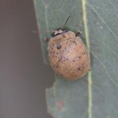 Trachymela sp. (genus) (Brown button beetle) at Fyshwick, ACT - 10 Feb 2021 by AlisonMilton