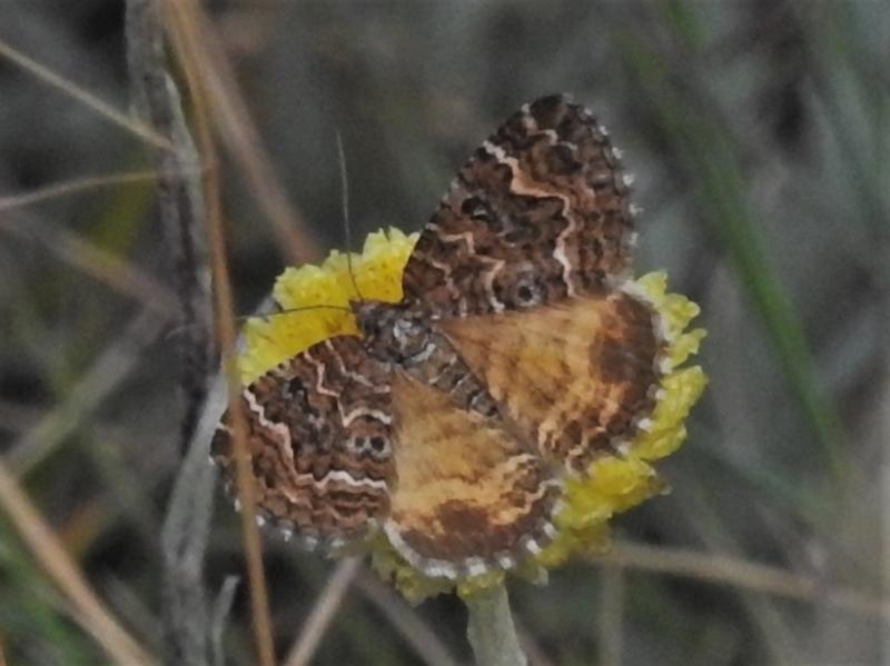 Chrysolarentia undescribed species nr heliacaria at Namadgi National Park - 20 Feb 2021