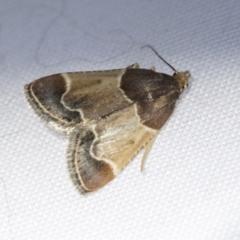 Pyralis farinalis (Meal Moth) at Higgins, ACT - 13 Feb 2021 by AlisonMilton