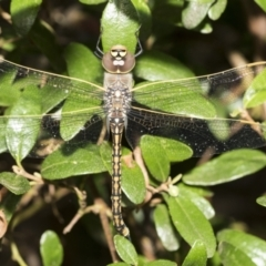 Anax papuensis (Australian Emperor) at Higgins, ACT - 10 Feb 2021 by AlisonMilton