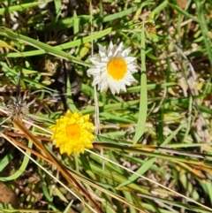 Leucochrysum albicans subsp. tricolor (Hoary Sunray) at Mount Mugga Mugga - 20 Feb 2021 by Mike