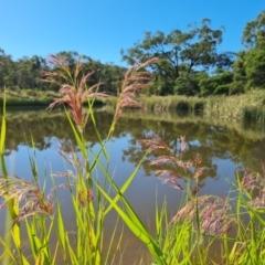 Phragmites australis (Common reed) at Mount Mugga Mugga - 20 Feb 2021 by Mike