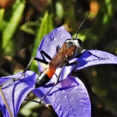 Podalonia tydei (Caterpillar-hunter wasp) at Namadgi National Park - 19 Feb 2021 by JohnBundock