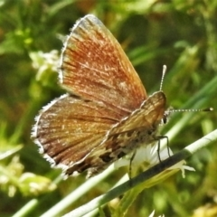 Neolucia hobartensis (TBC) at Cotter River, ACT - 20 Feb 2021 by JohnBundock
