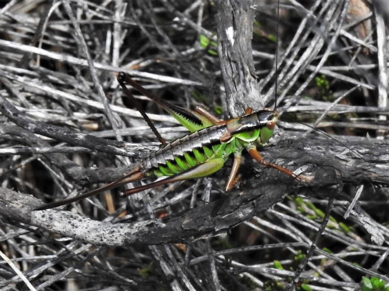 Chlorodectes montanus at Namadgi National Park - 20 Feb 2021