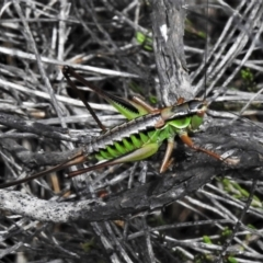 Chlorodectes montanus (Montane green shield back katydid) at Namadgi National Park - 20 Feb 2021 by JohnBundock