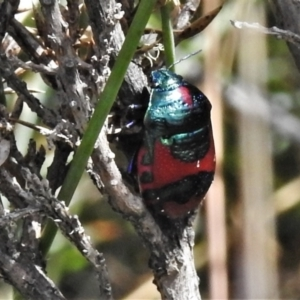 Choerocoris paganus at Namadgi National Park - 20 Feb 2021