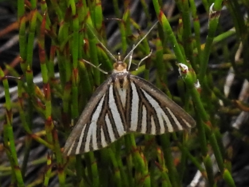 Amelora oritropha at Namadgi National Park - 20 Feb 2021