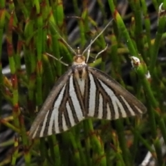 Amelora oritropha (Alpine Striped Cape-moth) at Namadgi National Park - 20 Feb 2021 by JohnBundock