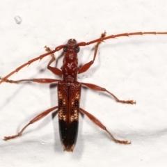 Coptocercus aberrans (Aberrans longhorn beetle) at Melba, ACT - 19 Feb 2021 by kasiaaus
