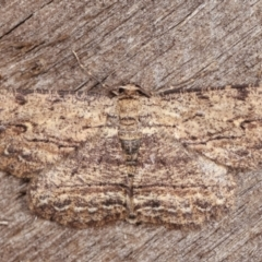 Ectropis excursaria (Common Bark Moth) at Melba, ACT - 19 Feb 2021 by kasiaaus