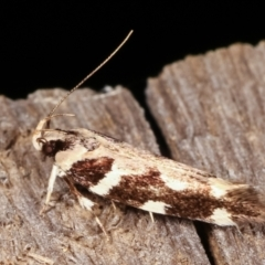 Macrobathra (genus) (A cosmet moth) at Melba, ACT - 19 Feb 2021 by kasiaaus