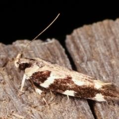 Macrobathra (genus) (A cosmet moth) at Melba, ACT - 19 Feb 2021 by kasiaaus