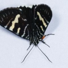 Phalaenoides glycinae (Grapevine Moth) at Melba, ACT - 19 Feb 2021 by kasiaaus