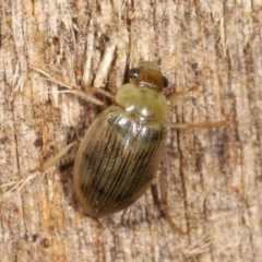 Unidentified Beetle (Coleoptera) (TBC) at Melba, ACT - 19 Feb 2021 by kasiaaus