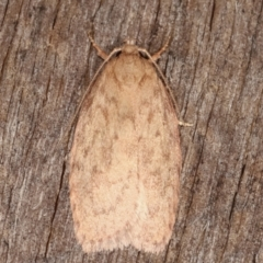 Garrha repandula (A Concealer moth) at Melba, ACT - 19 Feb 2021 by kasiaaus