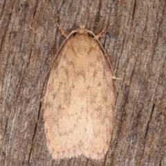 Garrha repandula (A Concealer moth) at Melba, ACT - 19 Feb 2021 by kasiaaus