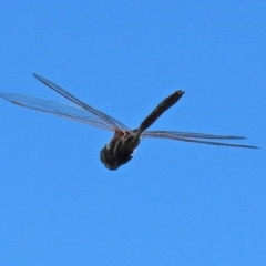 Adversaeschna brevistyla (Blue-spotted Hawker) at Jerrabomberra Wetlands - 21 Feb 2021 by RodDeb
