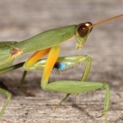 Orthodera ministralis (Garden mantis) at Melba, ACT - 19 Feb 2021 by kasiaaus