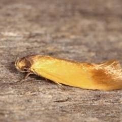 Phauloplana illuta (A concealer moth) at Melba, ACT - 19 Feb 2021 by kasiaaus