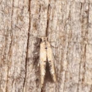 Blastobasis (genus) at Melba, ACT - 19 Feb 2021
