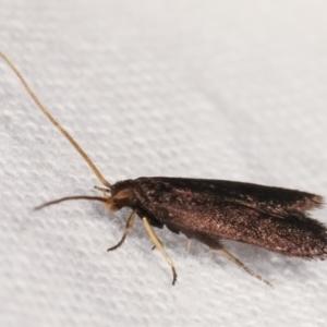 Lecithocera terrigena at Melba, ACT - 19 Feb 2021