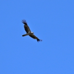 Haliastur sphenurus (Whistling Kite) at Jerrabomberra Wetlands - 21 Feb 2021 by RodDeb
