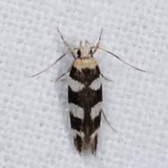 Limnaecia camptosema (A Cosmet moth) at Melba, ACT - 19 Feb 2021 by kasiaaus