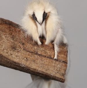 Trichiocercus sparshalli at Melba, ACT - 20 Feb 2021