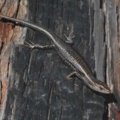 Pseudemoia spenceri (Spencer's Skink) at Tinderry Nature Reserve - 20 Feb 2021 by Harrisi