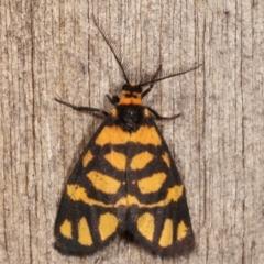 Asura lydia (Lydia Lichen Moth) at Melba, ACT - 19 Feb 2021 by kasiaaus