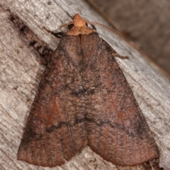 Fisera eribola (Orange-hooded Crest-moth) at Melba, ACT - 19 Feb 2021 by kasiaaus