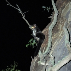 Petauroides volans (Greater Glider) at Brindabella National Park - 20 Feb 2021 by Sarah2019