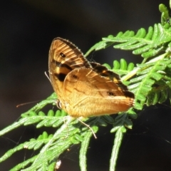Heteronympha paradelpha (TBC) at Namadgi National Park - 20 Feb 2021 by Sarah2019
