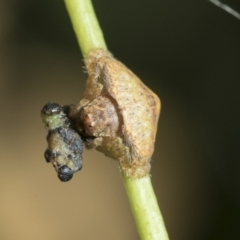 Dolophones sp. (genus) (Wrap-around spider) at Higgins, ACT - 21 Feb 2021 by AlisonMilton